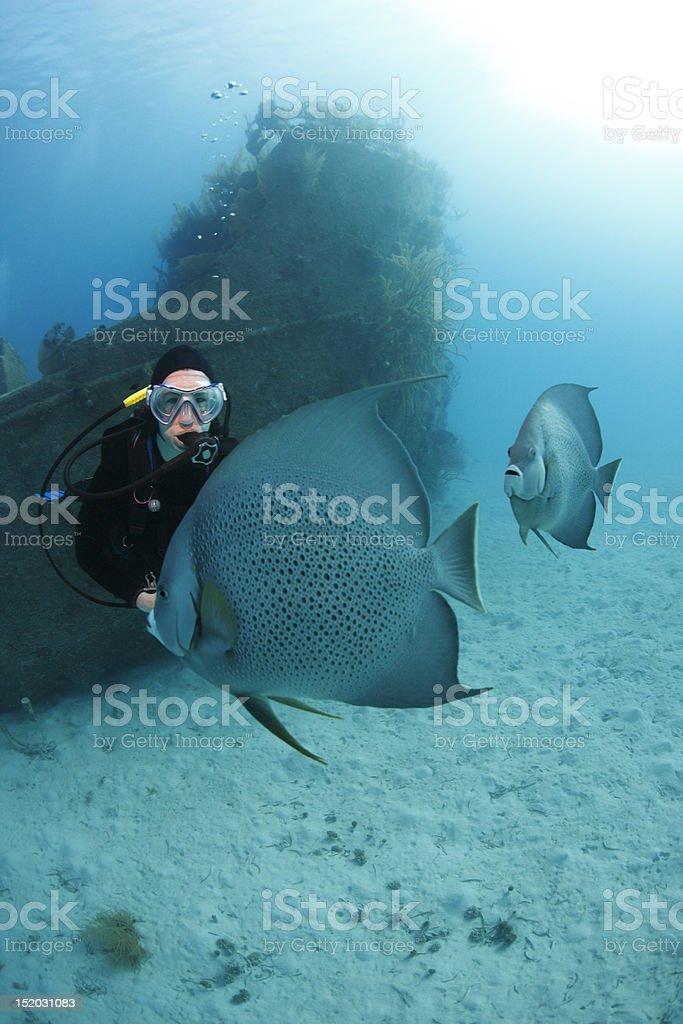 Scuba Diver admiring Gray Angelfish royalty-free stock photo