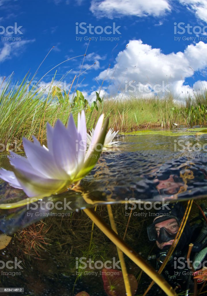 scuba diver and water lily stock photo
