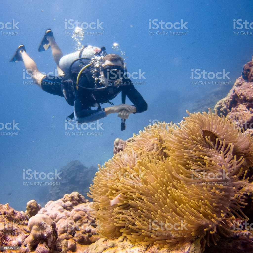 Scuba Diver at Koh Haa, Thailand, Happy In Nature Environment Watching Magnificent Anemone (Heteractis magnifica) containing a Skunk Anemonefish (Amphiprion ephippium) Clownfish. stock photo