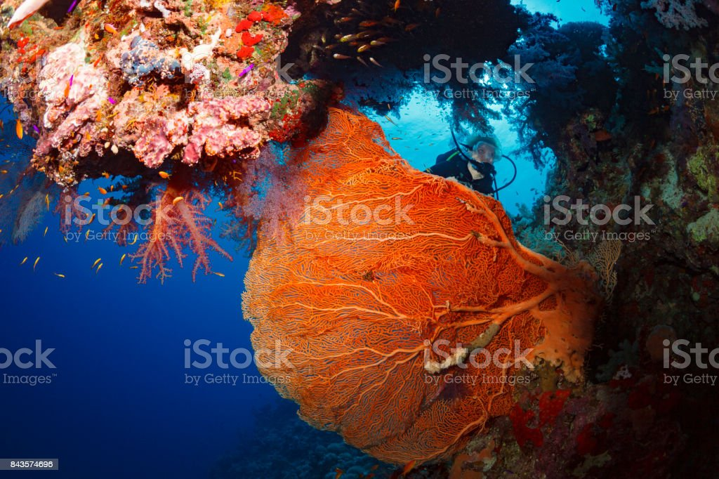 Scuba diver is exploring and enjoying Coral reef  Sea life red corals Sporting women Underwater photo stock photo