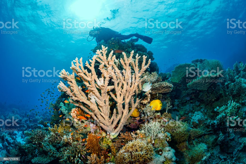 Scuba diver is exploring and enjoying Coral reef  Sea life  Sporting women stock photo