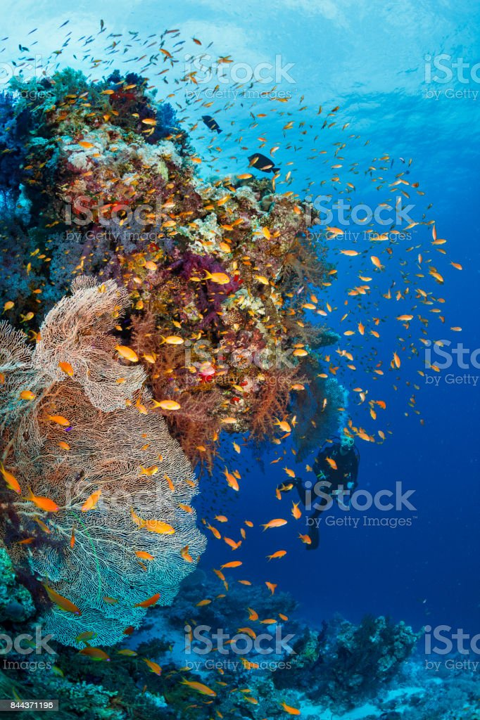 Scuba diver is exploring and enjoying Coral reef  Sea life   Underwater photographer stock photo