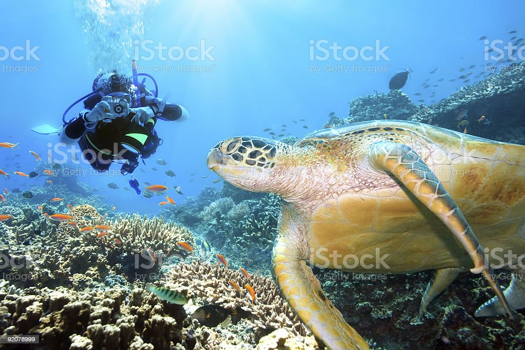 Scuba diver swimming underwater with a green sea turtle royalty-free stock photo
