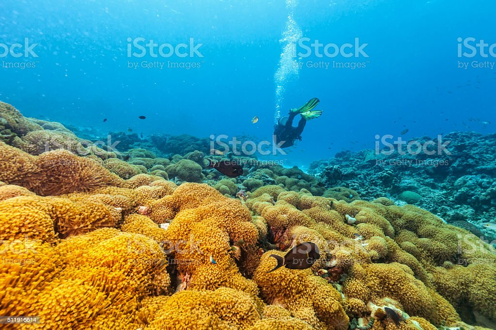 Scuba diver underwater examine closely corals stock photo