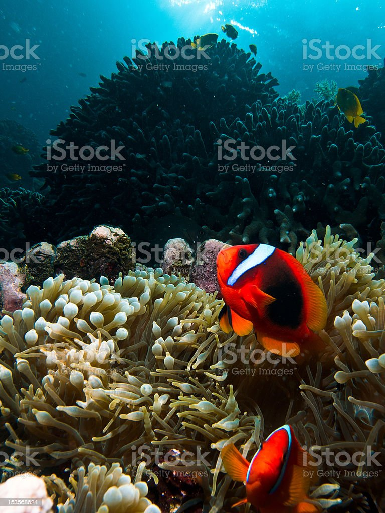 Scuba diving coral reef royalty-free stock photo