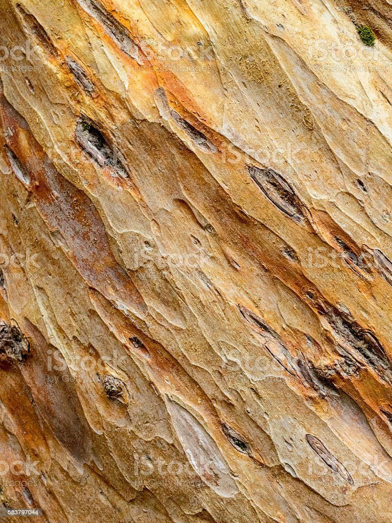 Sculptured bark of an Arrayan tree. stock photo