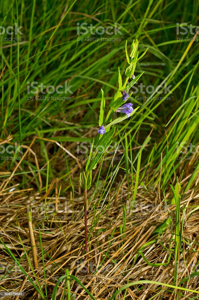 Scutellaria galericulata, common skullcap, marsh skullcap, hooded skullcap. Blooming flower stock photo