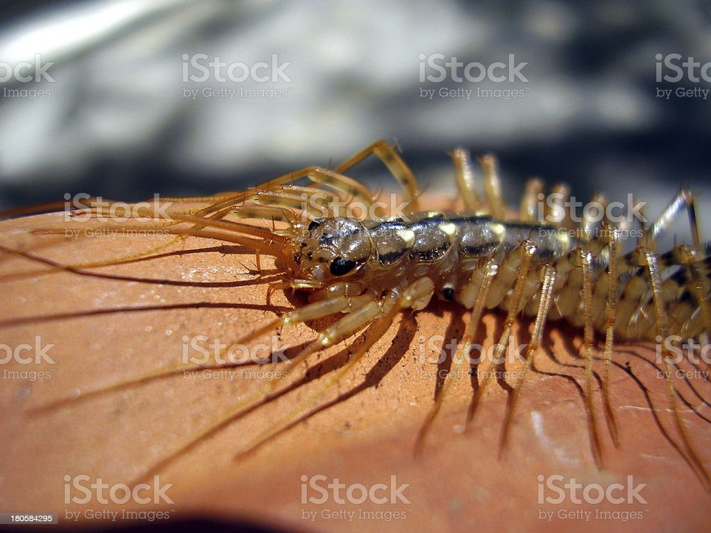 Scutigera coleoptrata stock photo