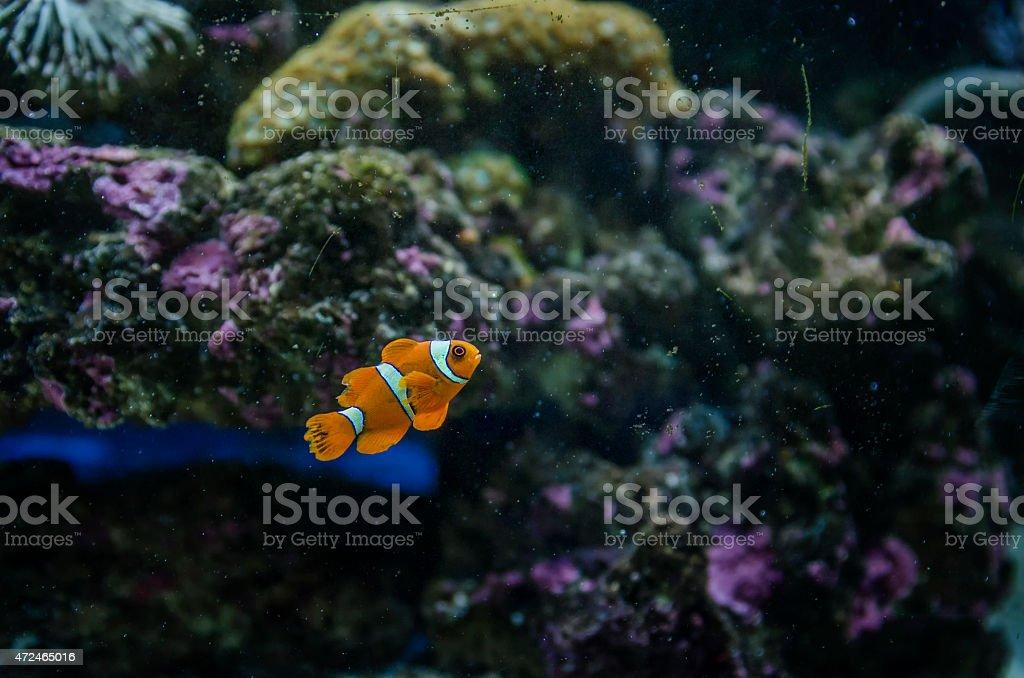 Sea anemone and clown fish stock photo