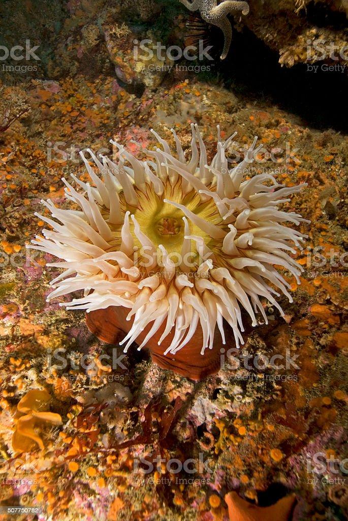 Sea anemone at Channel Islands, California stock photo