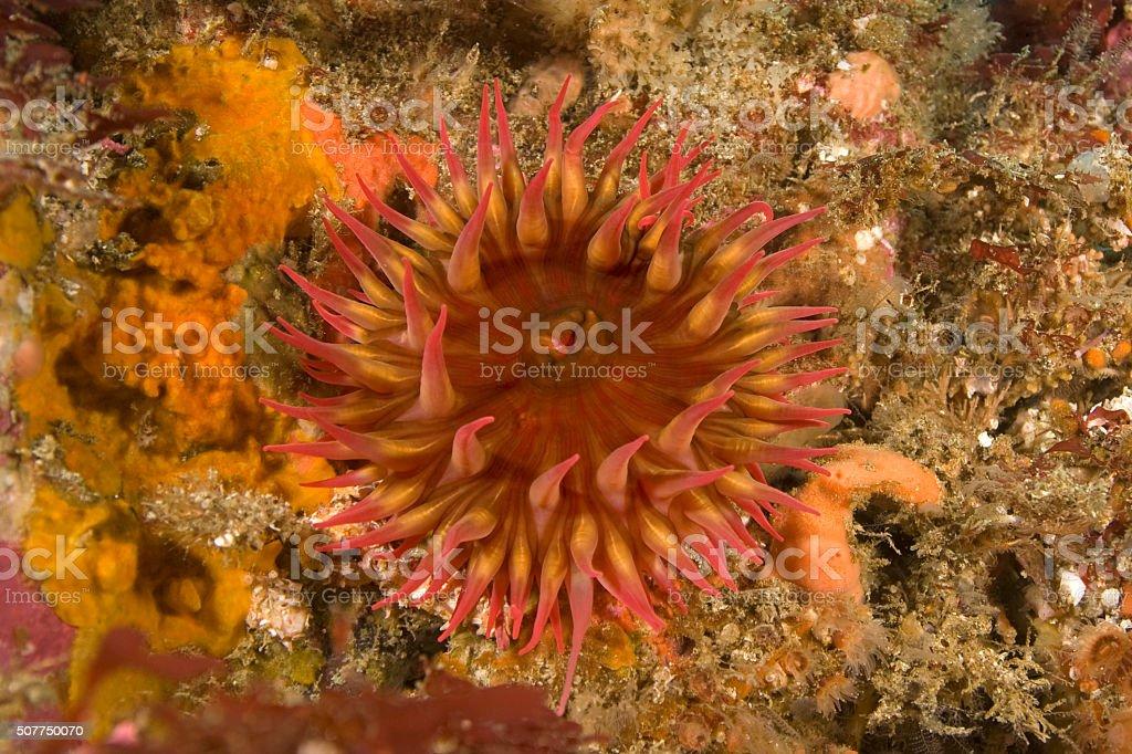 Sea anemone feeding at California reef stock photo