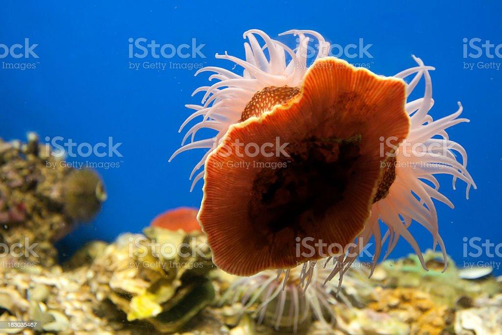 Sea Anemone on Aquarium Glass royalty-free stock photo