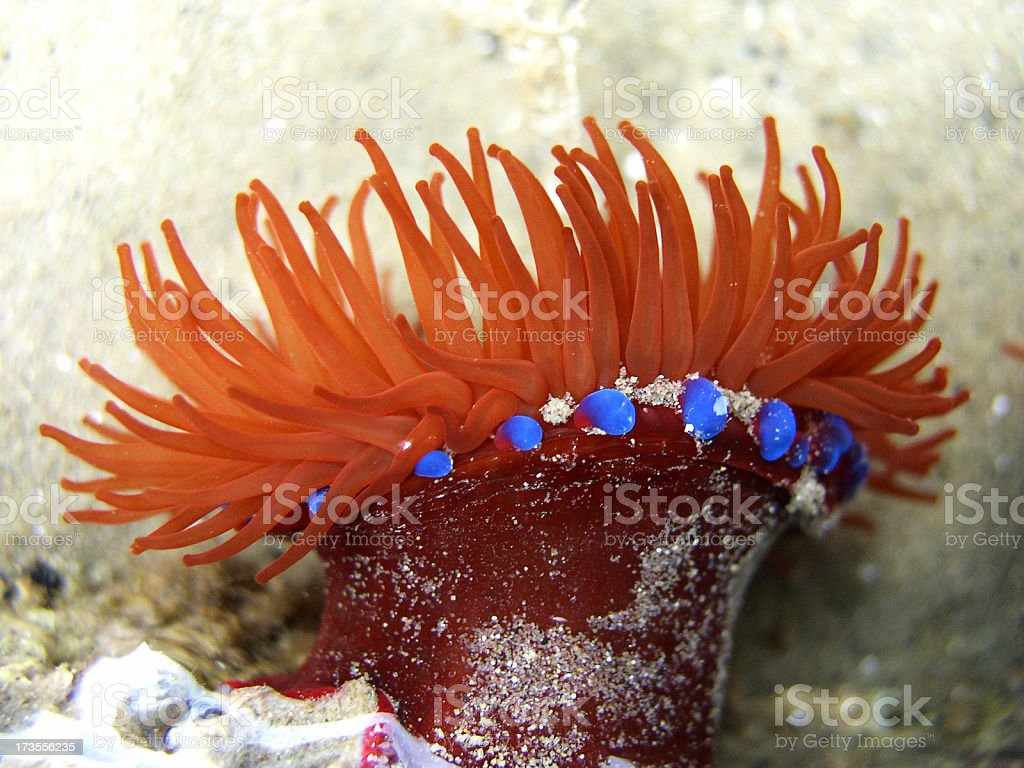 sea anenome stock photo