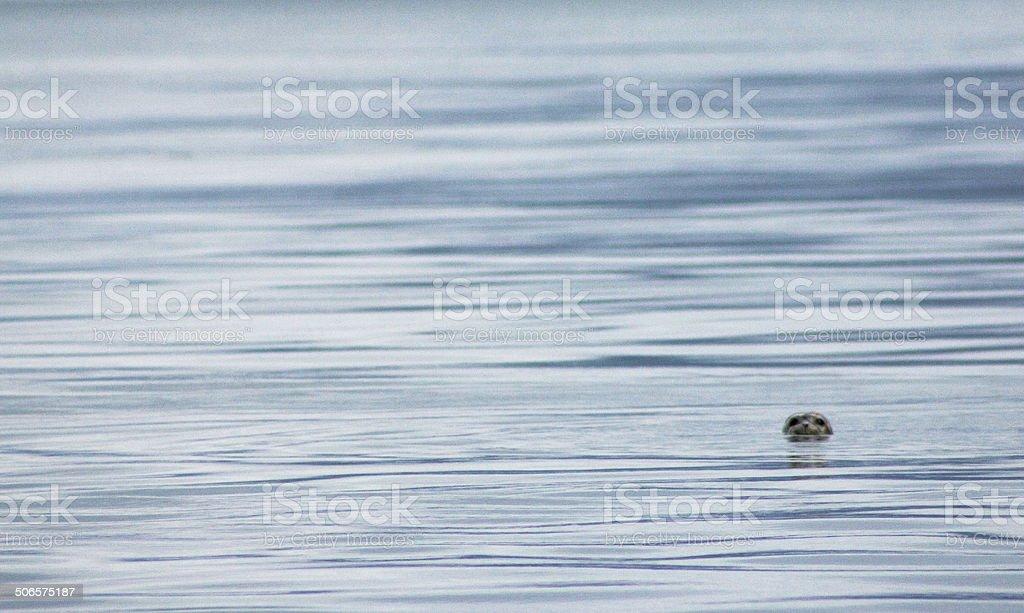 Sea background - seal life royalty-free stock photo