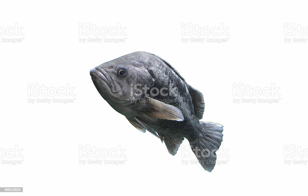 Sea Bass + Clipping Path royalty-free stock photo