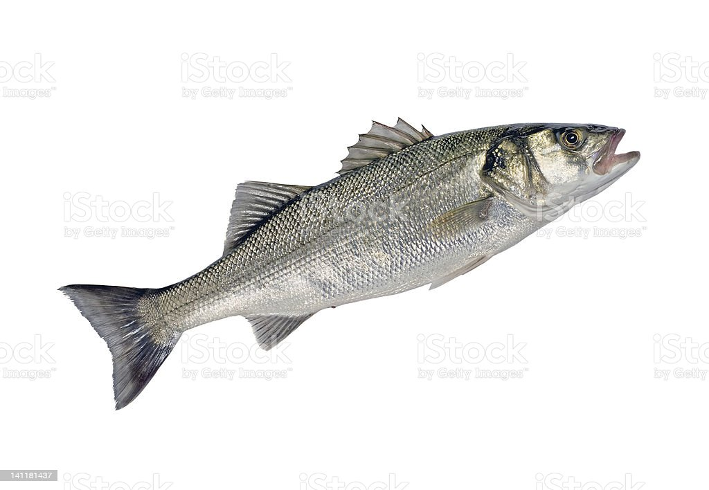 Sea bass fish isolated on white background stock photo