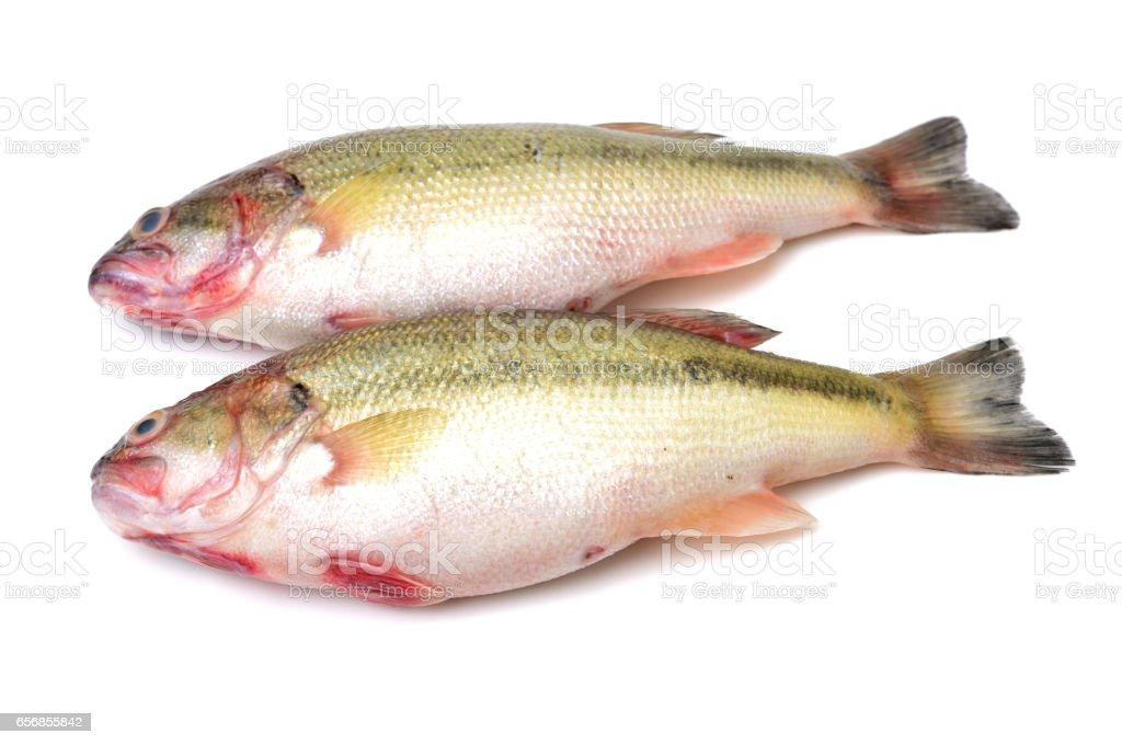 sea bass isolated on white background stock photo