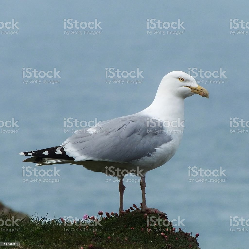 Sea Bird 005 stock photo