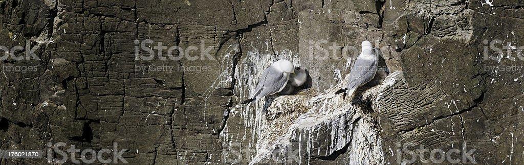 Sea bird cliff nest chicks gulls panorama stock photo