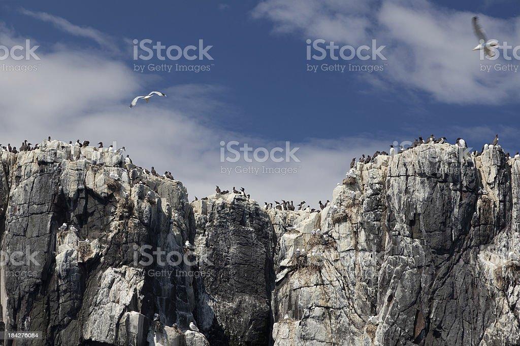 sea birds on cliffs stock photo