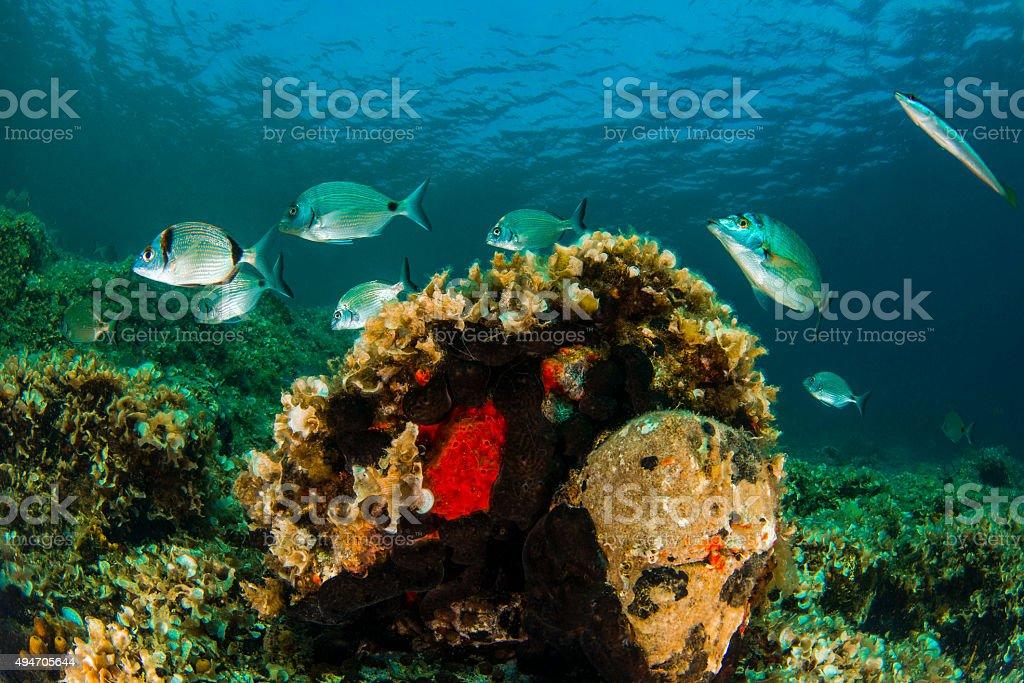 Sea breams in Turkey stock photo