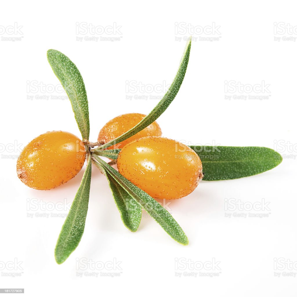 sea buckthorn branch isolated on the white stock photo