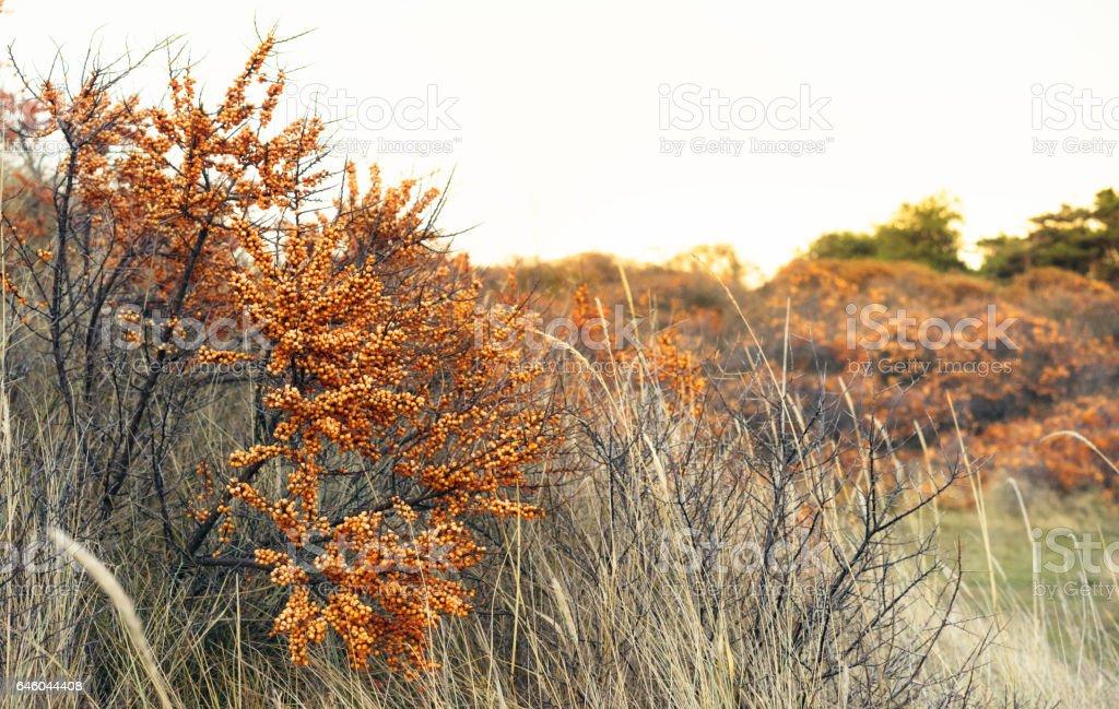 Sea Buckthorn growing wild in Scotland, ripe in Autumn stock photo