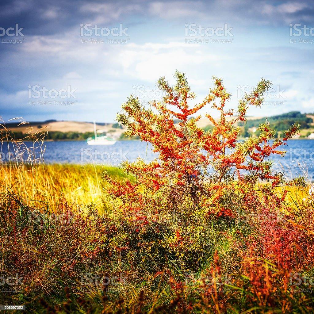 Sea buckthorn stock photo