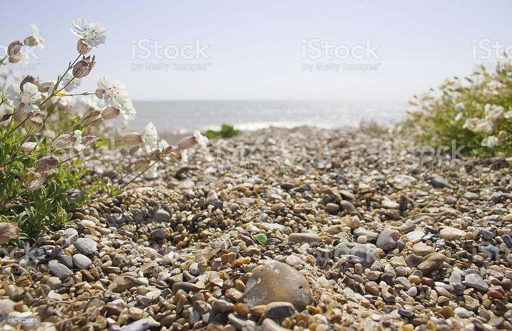 Sea campion on Sizewell beach stock photo