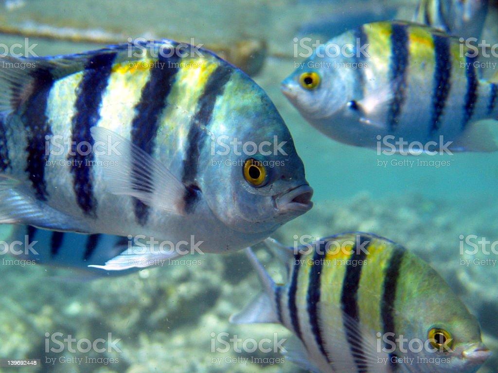 Sea Chubs royalty-free stock photo
