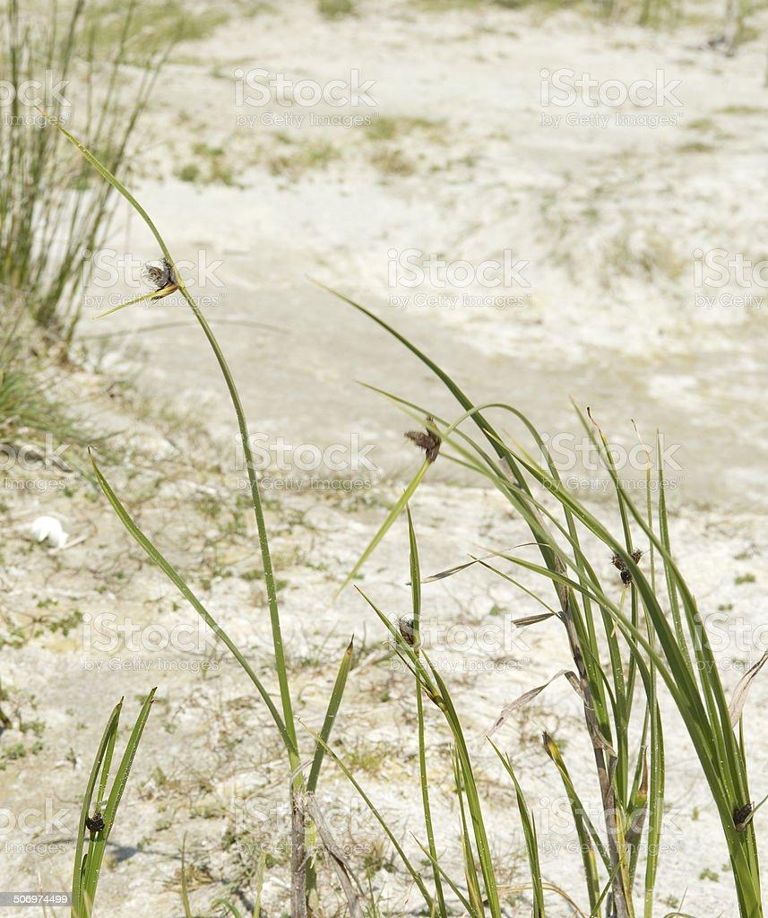 Sea Club Rush (Scirpus maritimus) stock photo