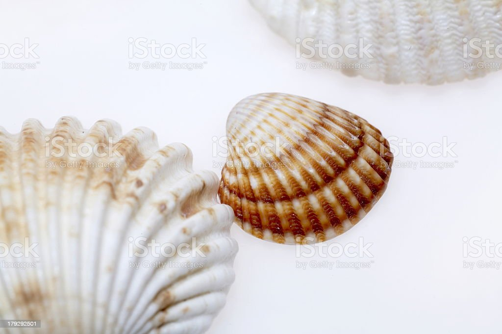 sea cockleshells royalty-free stock photo