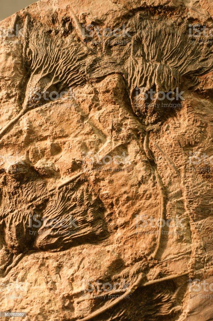 Sea Crinoid fossils. stock photo