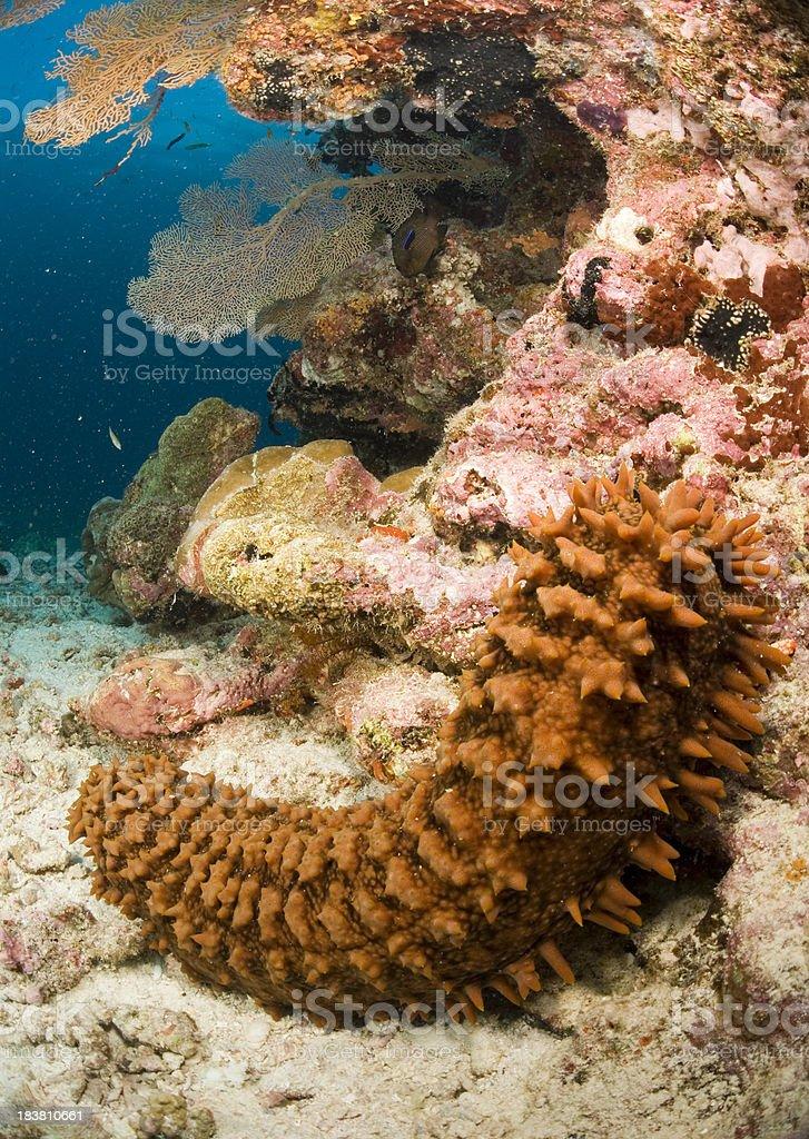 sea cucumber closeup stock photo