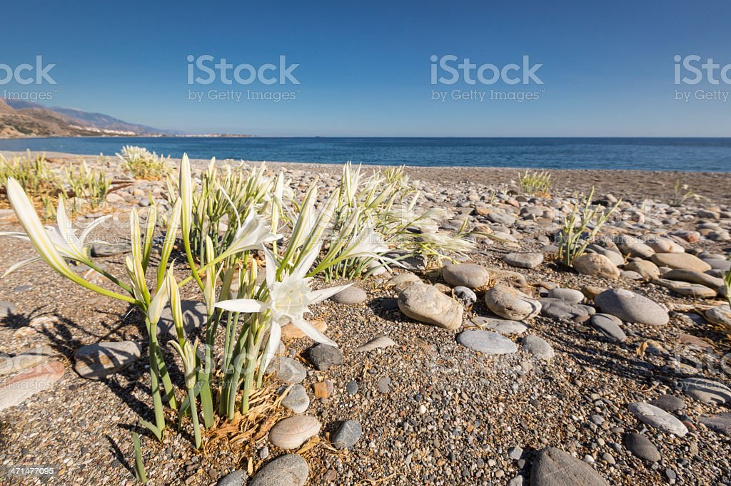 Sea Daffodil, Crete royalty-free stock photo