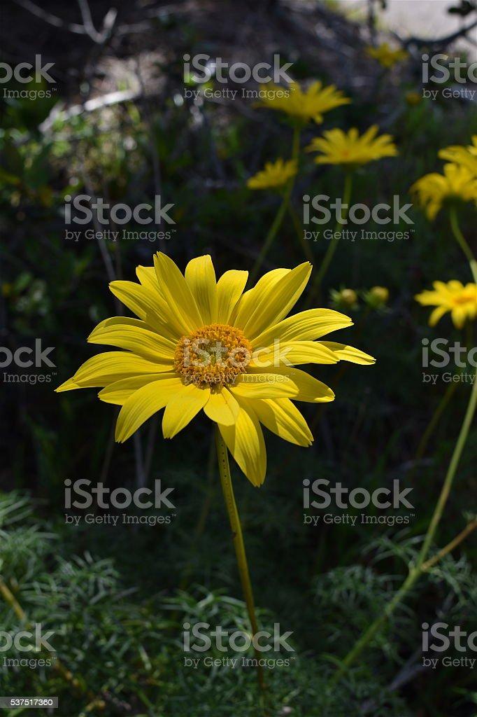 Sea Dahlia Plant, Torrey Pines State Reserve, San Diego, California stock photo