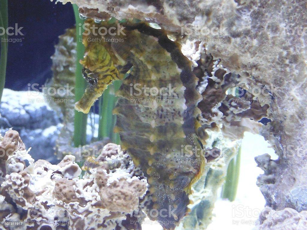 Sea dragon closeup stock photo