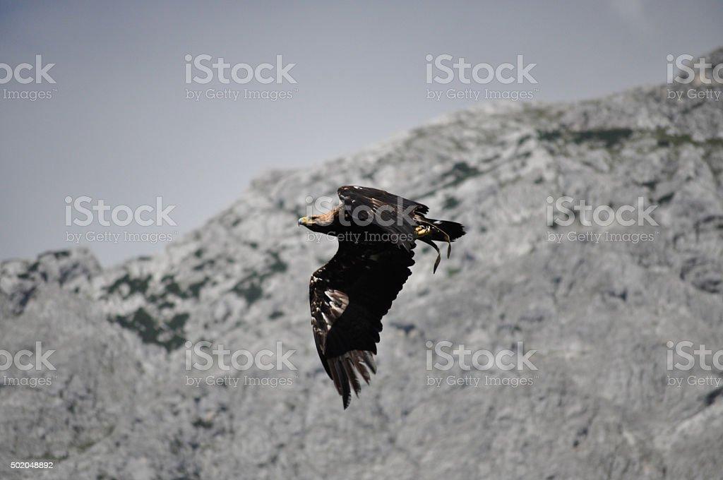 Sea Eagle in the Alps, Austria stock photo