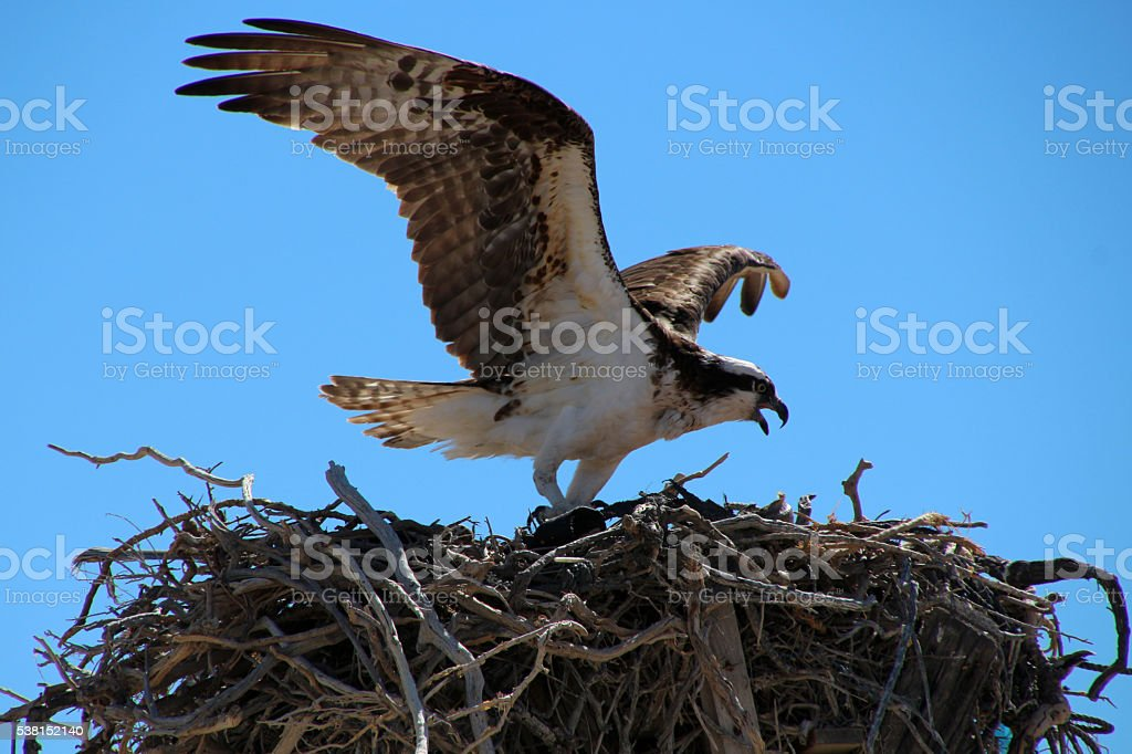 Seeadler im Nest stock photo