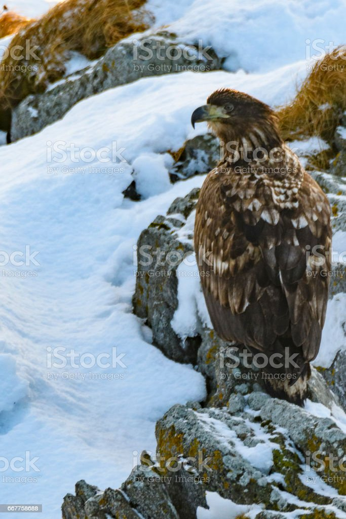 Sea Eagle or White-tailed eagle sitting on a snowy rock in Norway stock photo