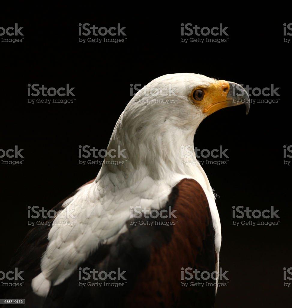 Sea Eagle stock photo
