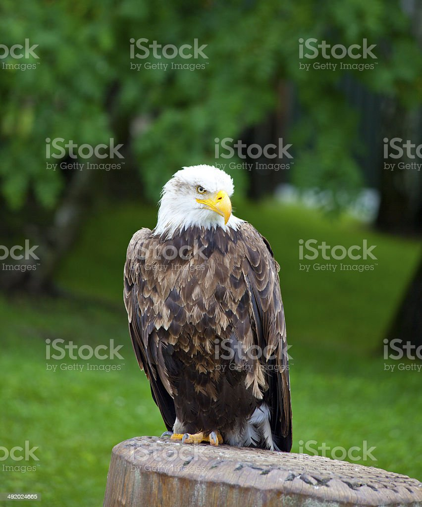 sea eagle with white head standing stock photo