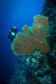 Sea fan and diver - Palau, Micronesia