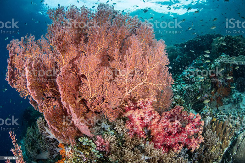 Sea Fan and Soft Corals stock photo