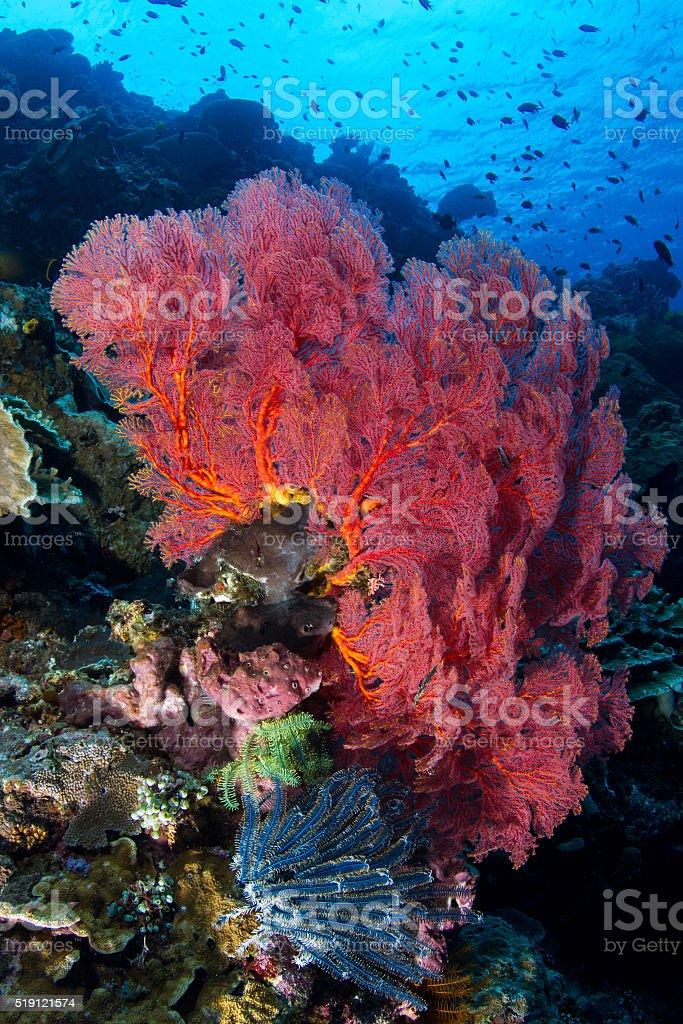Sea Fan at Bunaken reef stock photo