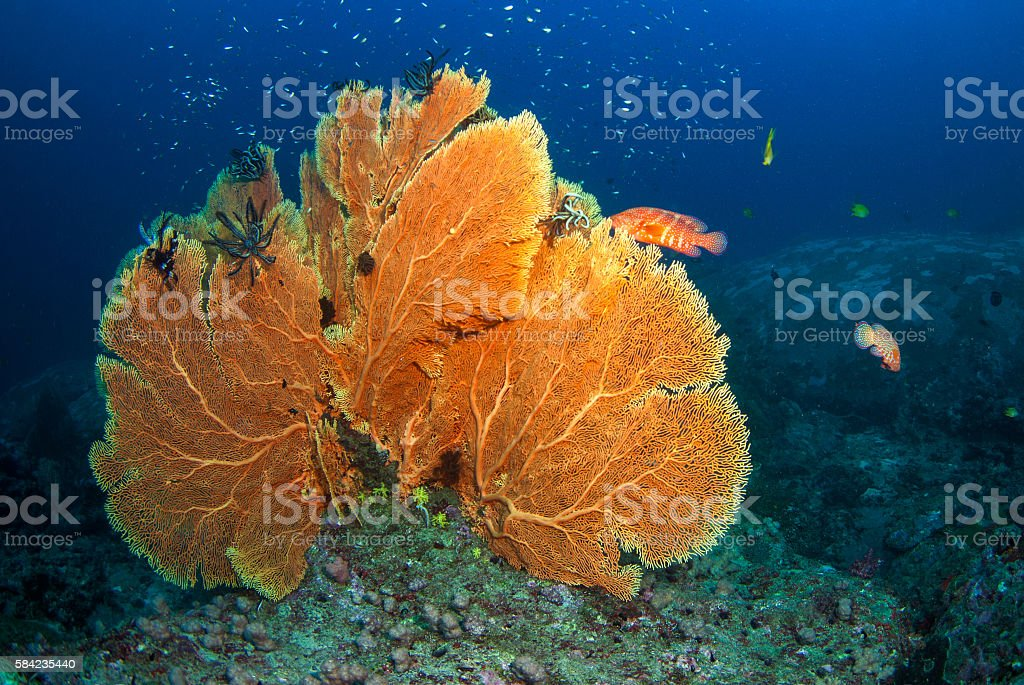 Sea Fan in North Andaman, Thailand stock photo