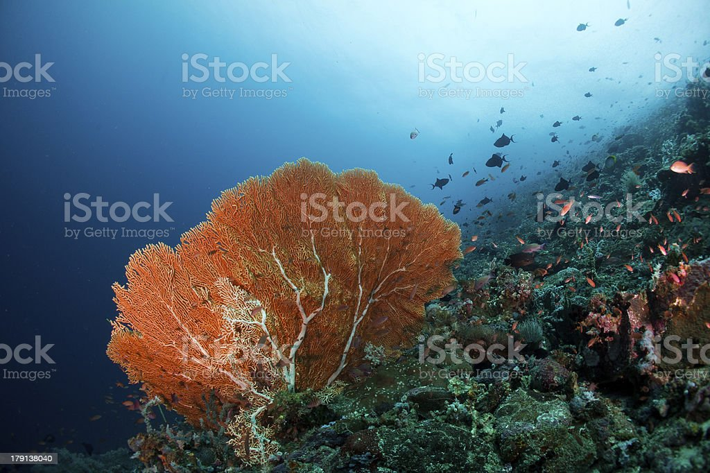 sea fan royalty-free stock photo