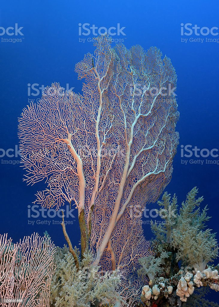 sea fan (Gorgonian) stock photo