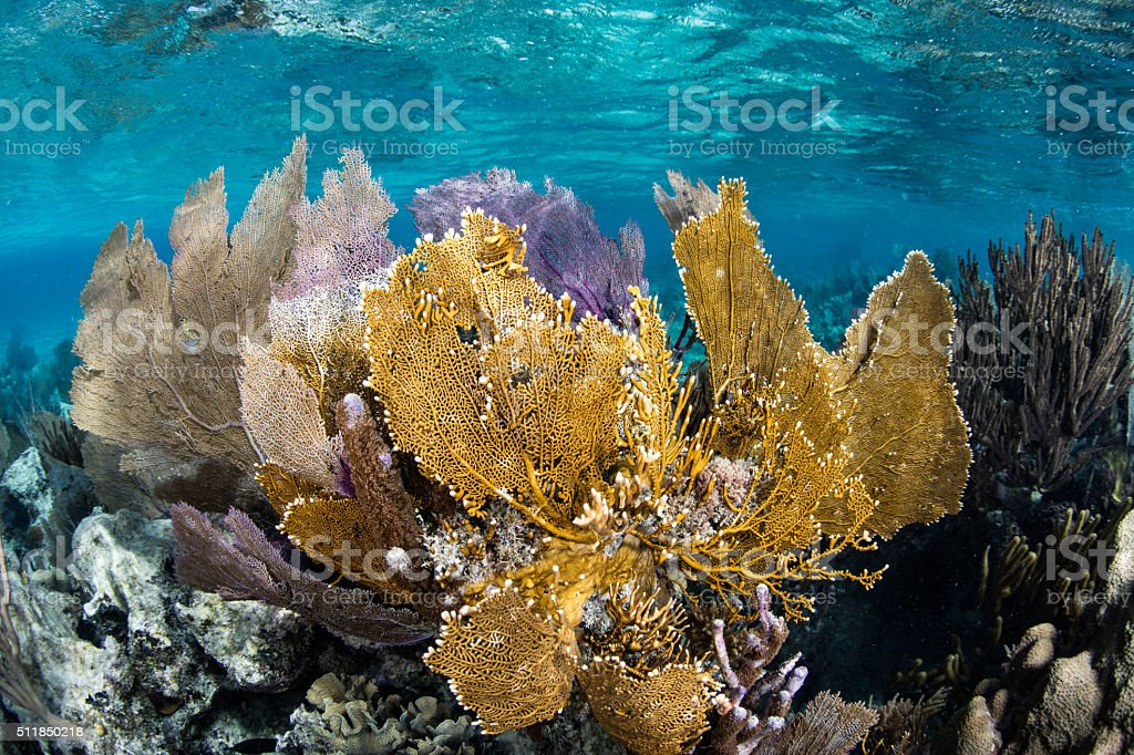 Sea Fans in Caribbean stock photo