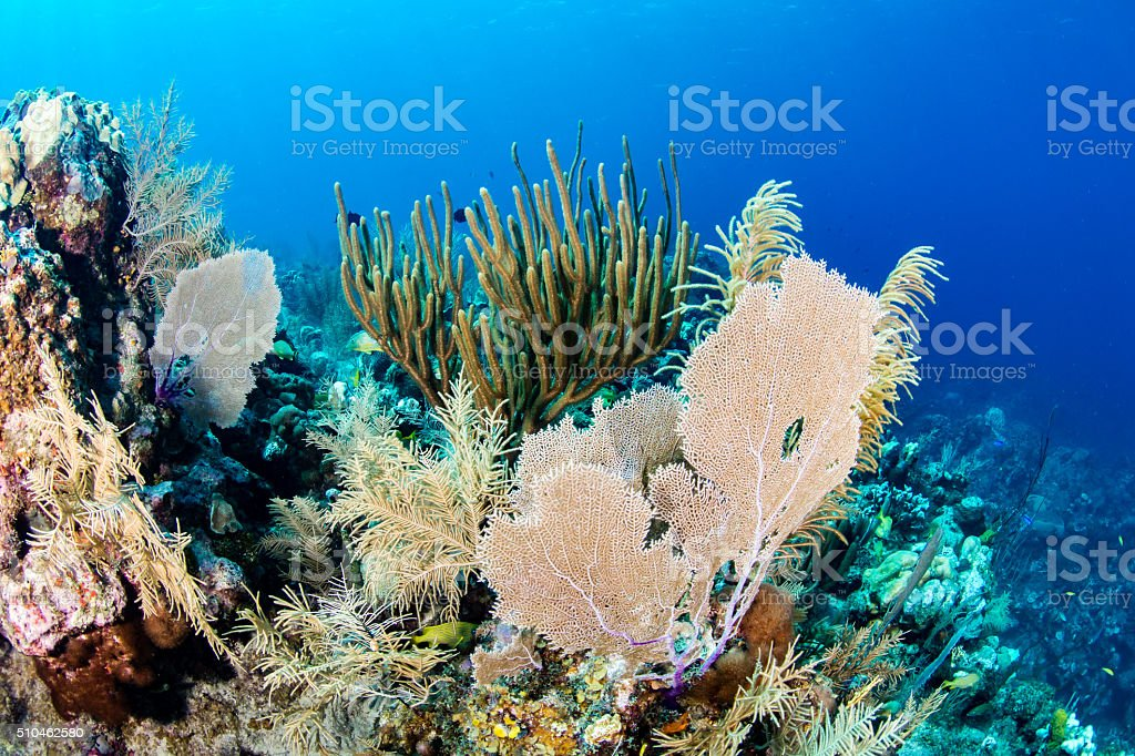 Sea Fans on a Coral Reef stock photo